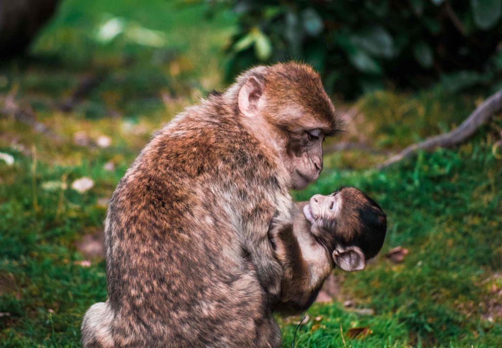 Apina katsoo sylissään olevaa poikasta metsässä.