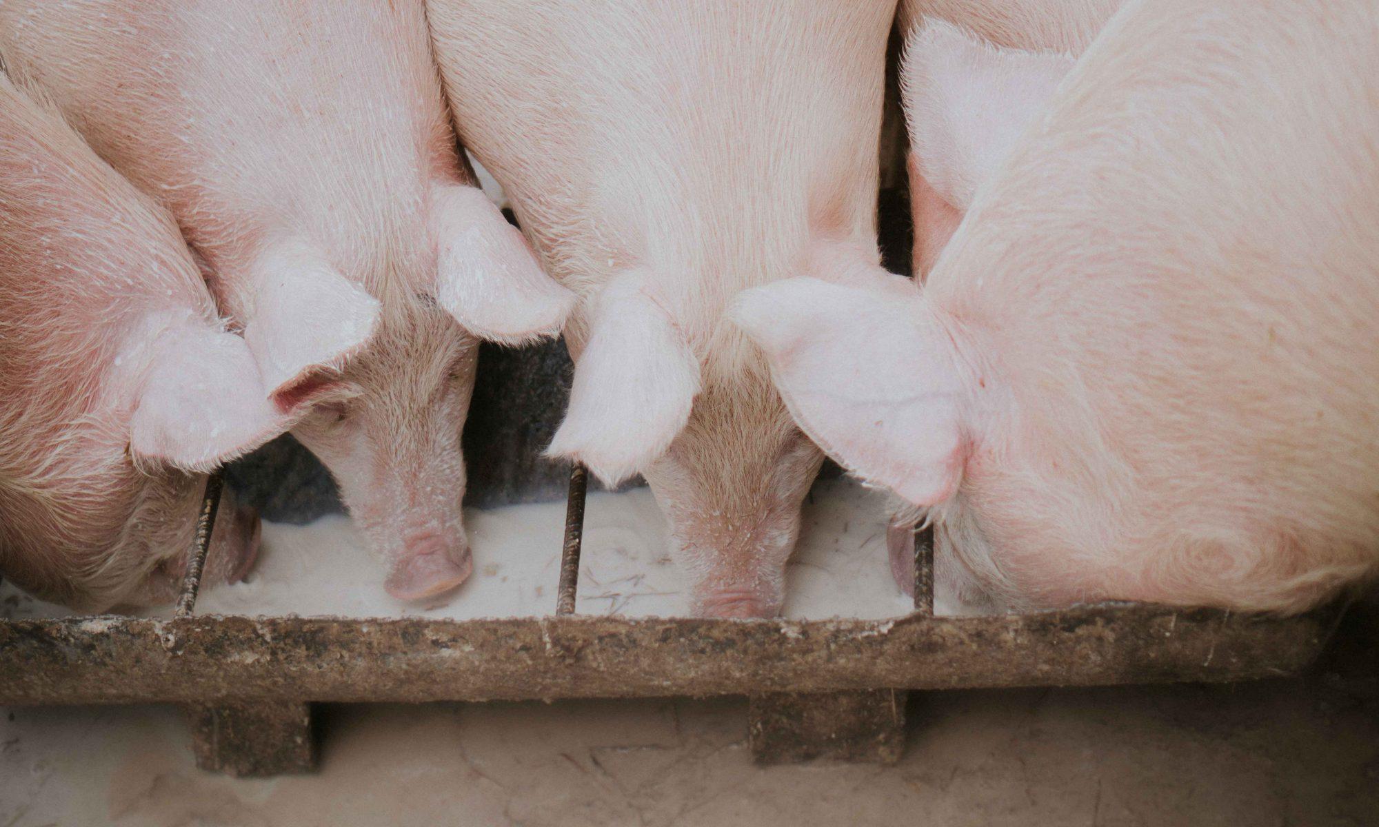 Joukko sikoja syömässä