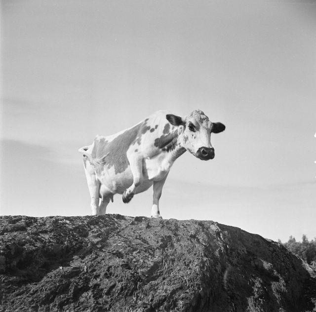 Mustavalkoinen kuva vauhdikkaasti kalliolla etenevästä lehmästä