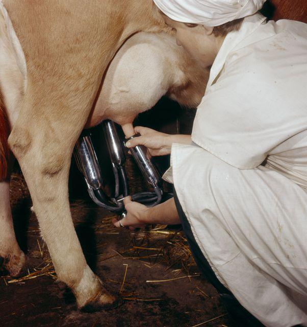 Lypsykoneen imukuppia asetetaan lehmän utareeseen