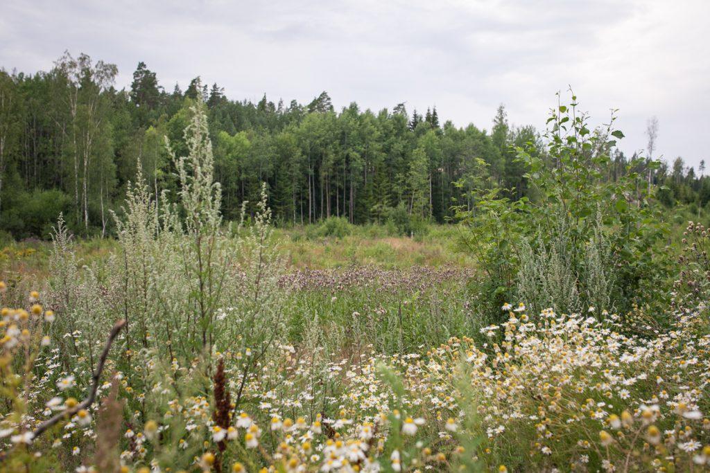 Hakkuuaukea ja metsänreuna kesällä