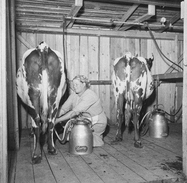 Vanha kuva, jossa emäntä lypsämässä kahden lehmän välissä