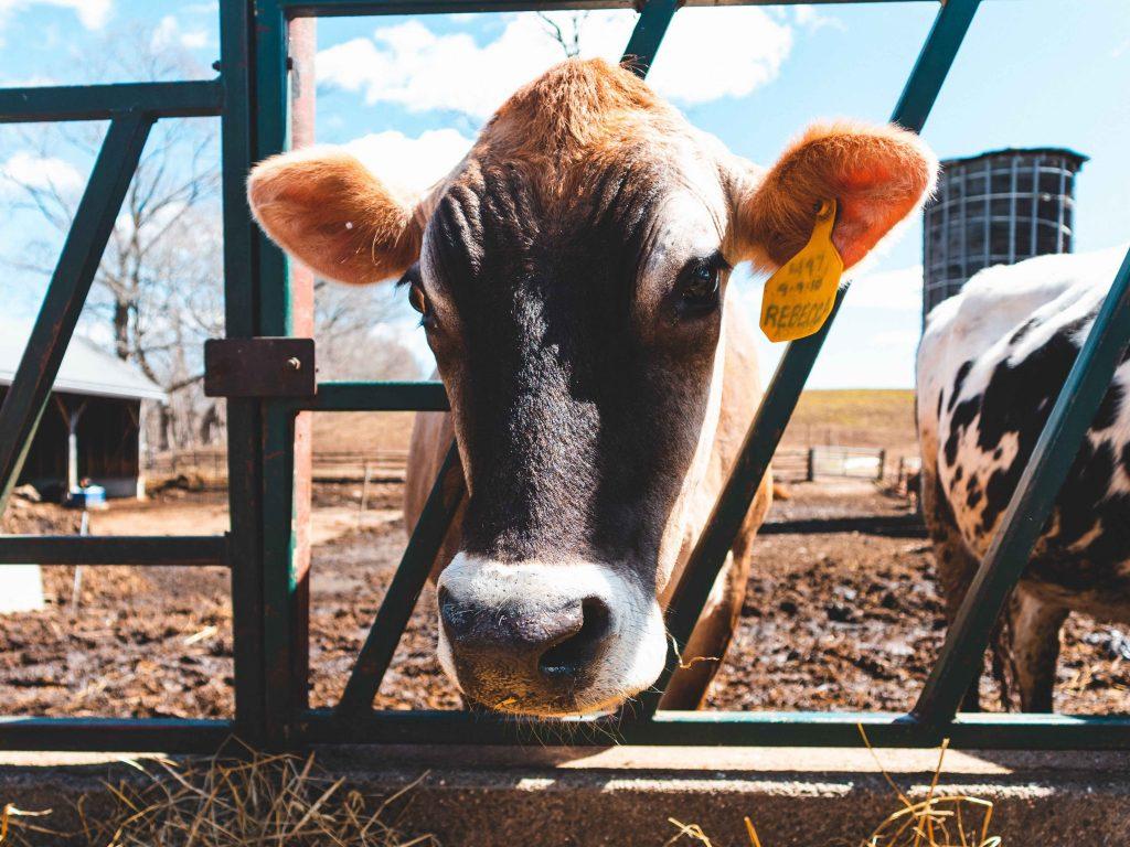Lehmä työntää päätään ulos aitauksesta