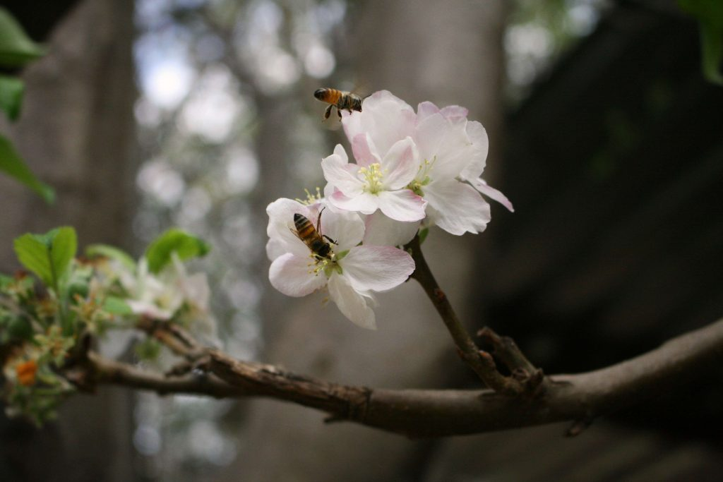 Mehiläinen imee mettä omenankukasta