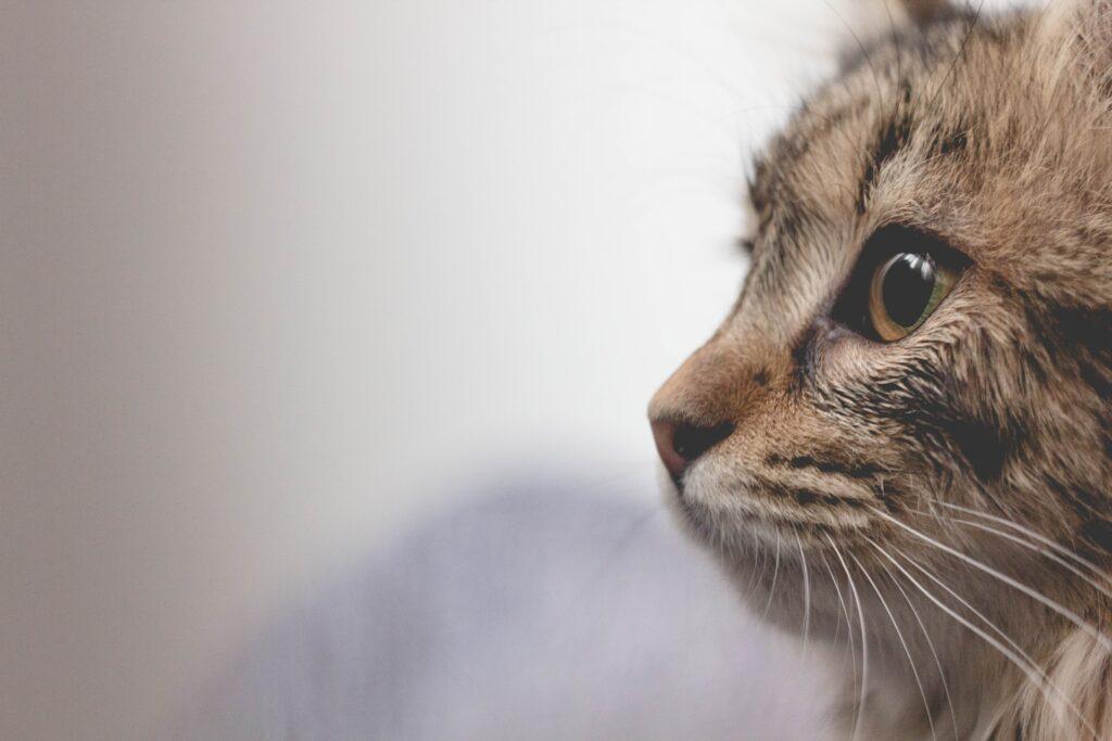 Kissan pää sivusta kuvattuna