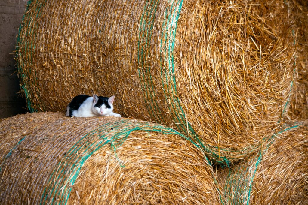 Mustavalkoinen pieni kissa heinäpaalien välissä