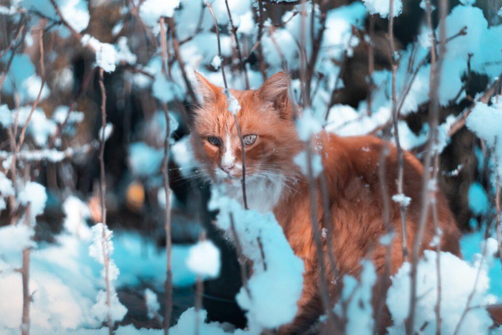 Oranssi kissa vaanii lumisten oksien seassa