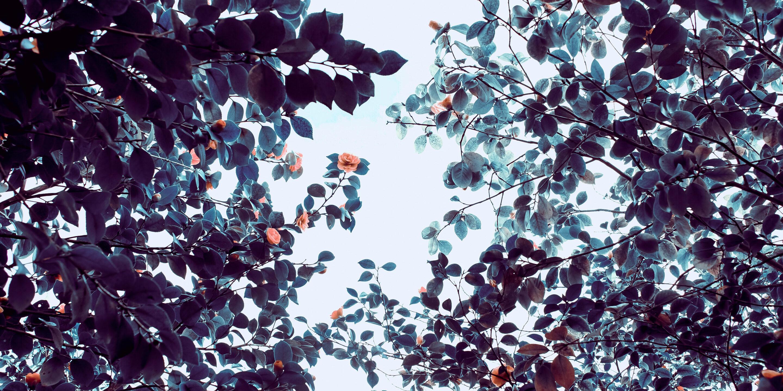 Kukkivien puiden latvuksia